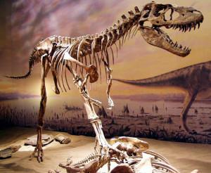 731px-Drumheller_Albertosaurus_150