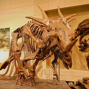 Styracosaurus 3